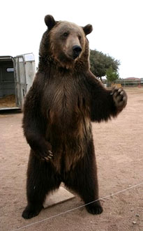 Rocky the Grizzly Bear