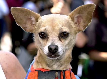 Gidget, Taco Bell Chihuahua