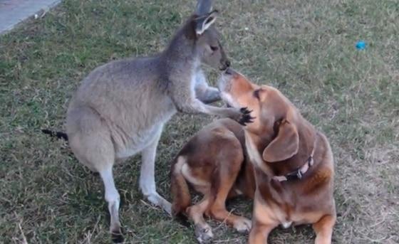 Dog Kangaroo