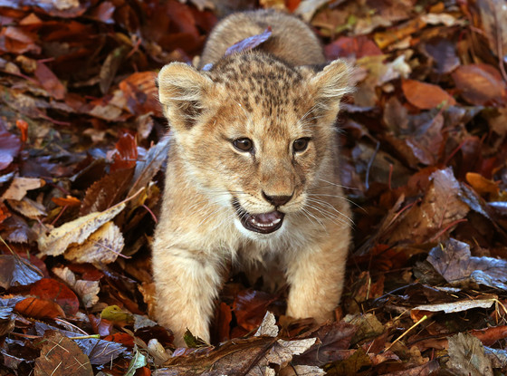 Baby Lion Playing in Leaves, Karis