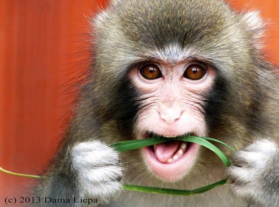 Darwin, IKEA, Monkey
