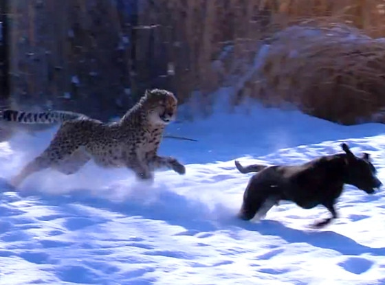 Cheetah, Dog, Friends, Cincinnati Zoo