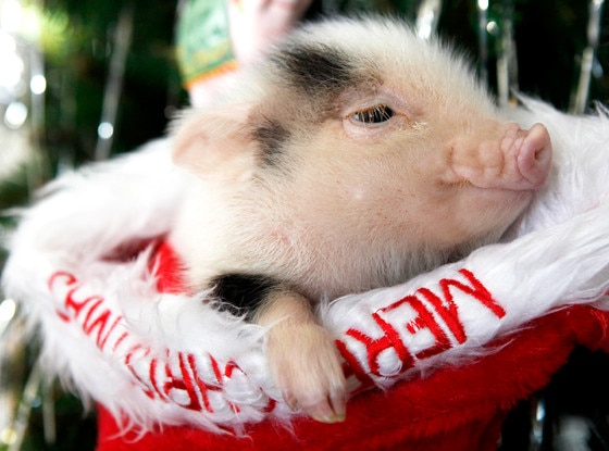 Micro Pig, Christmas Animals