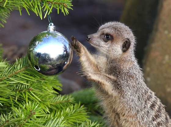 Christmas Animals, Meerkats