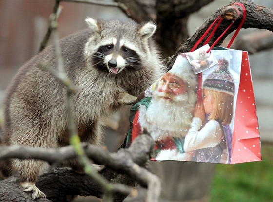 Raccoon, Christmas Animals
