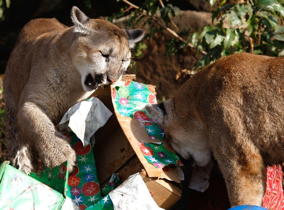 Christmas Animals, Mountain Lions, Cougar Cubs