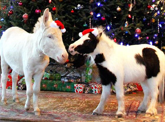 Mini Horses, Christmas Animals
