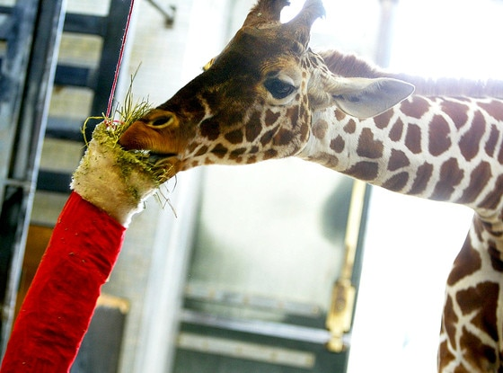 Giraffe, Christmas Animals