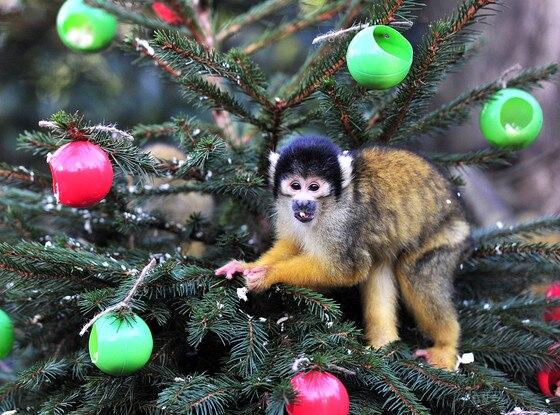Squirrel Monkey, Christmas Animals