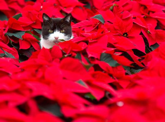Cat, Christmas Animals