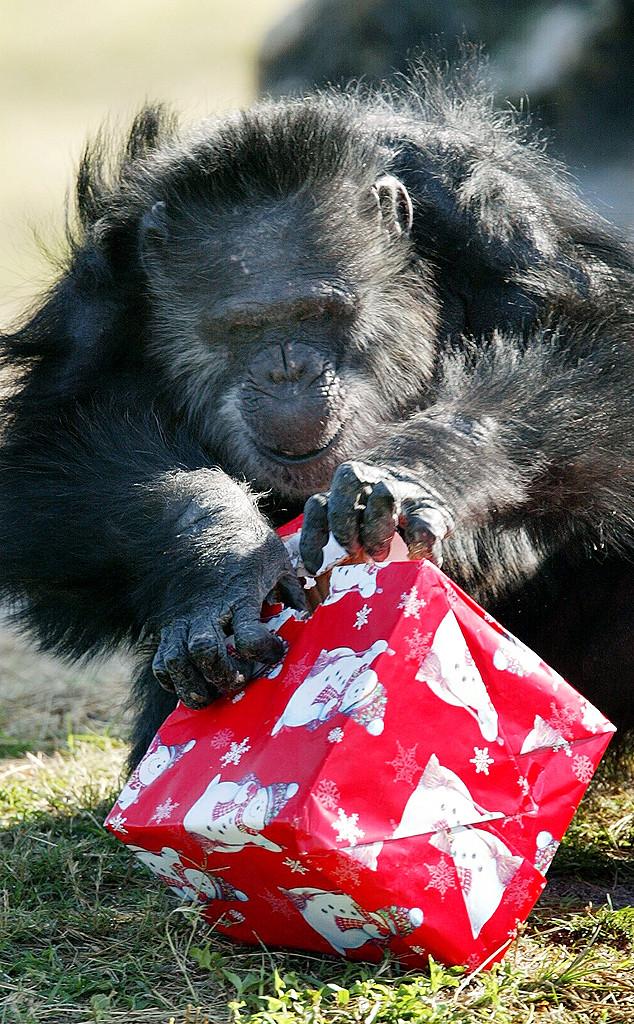 Chimp, Christmas Animals