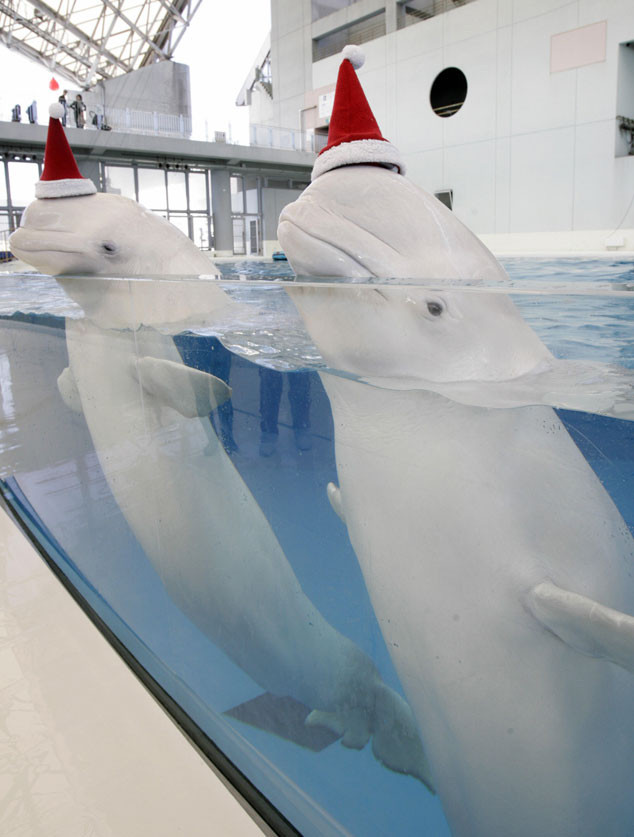 Christmas Animals, White Belugas