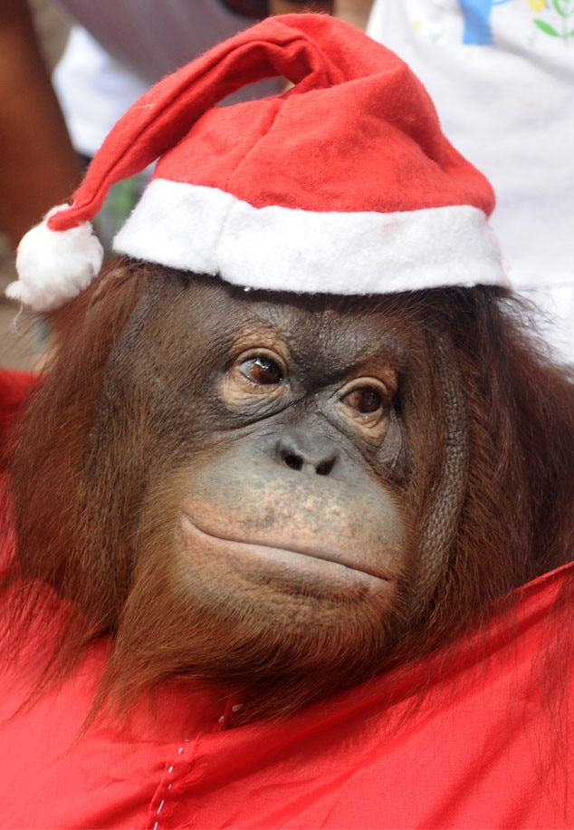 Christmas Animals, Orangutan