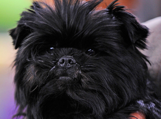 Banana Joe, Westminster Kennel Club
