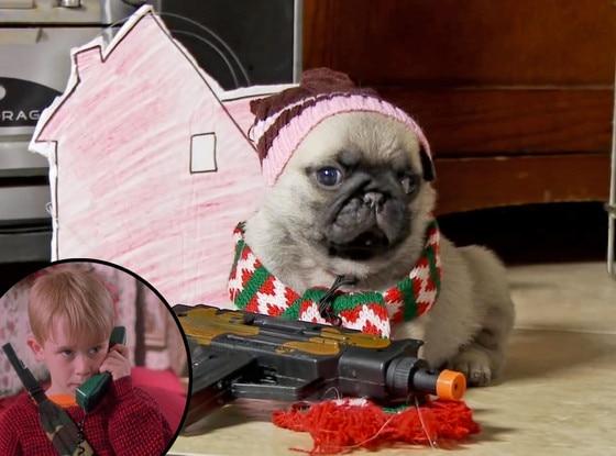 Pug Puppy, Home Alone