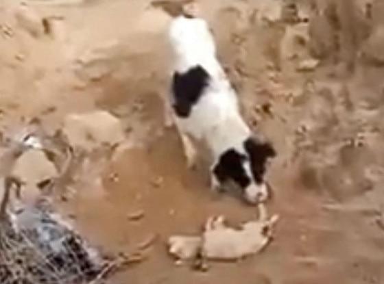 Dog Burying Puppy