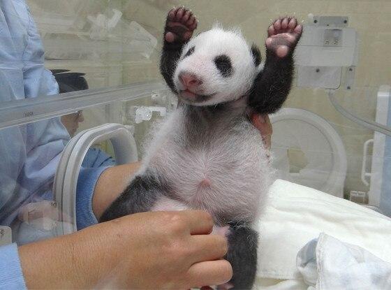 Baby Panda, Taipei Zoo