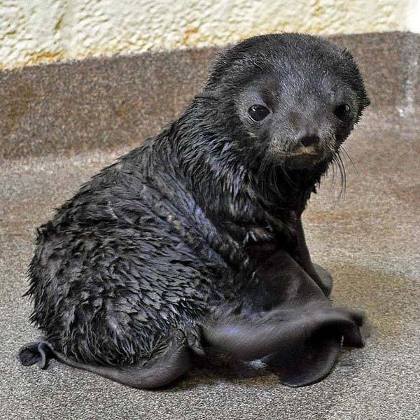 New England Aquarium Fur Pup Seal