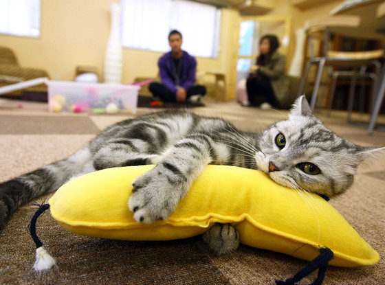 Cat Cafe, Japan