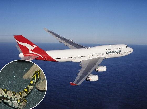 Qantas, Mandarin Rat Snake