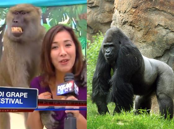 Bob Grabbing Monkey, Sexist Gorilla