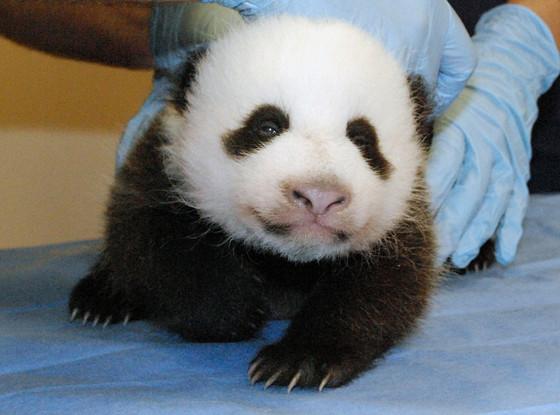 Panda, Smithsonian National Zoo
