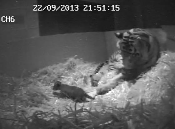 Baby Tiger Cub being born
