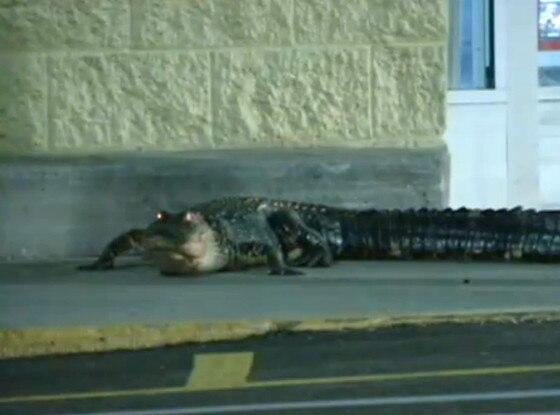 Walmart Alligator