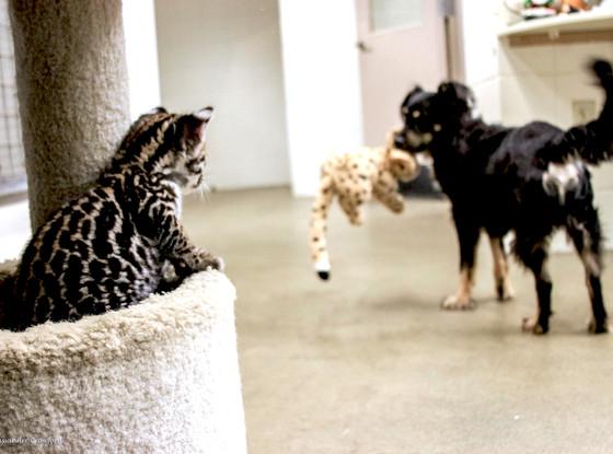 Ocelot kitten, Blakely the dog, Cincinnati Zoo