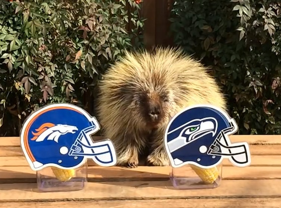 Teddy the Porcupine, predicting Superbowl