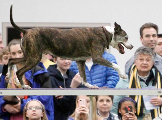 Emma, Westminster Dog Show