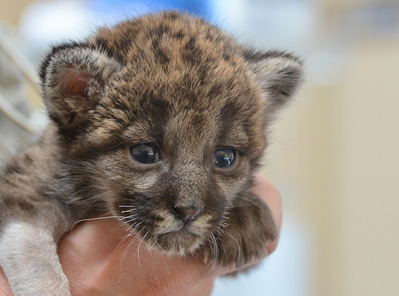 Florida Panther Kitten