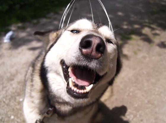 Husky, Head Scratcher