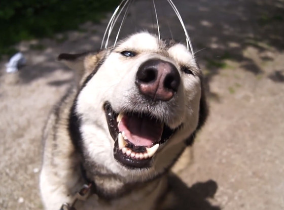 Husky, Head Scratcher