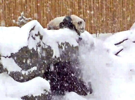 Toronto Zoo Panda, Snow