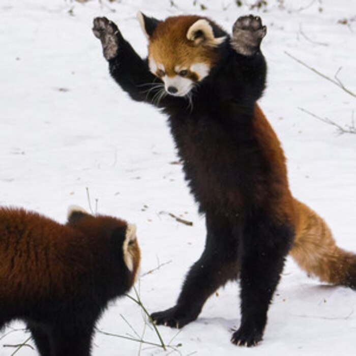 These Red Pandas Playing In The Snow Are So Cute You Ll Actually Wish For Cold Weather Again E News