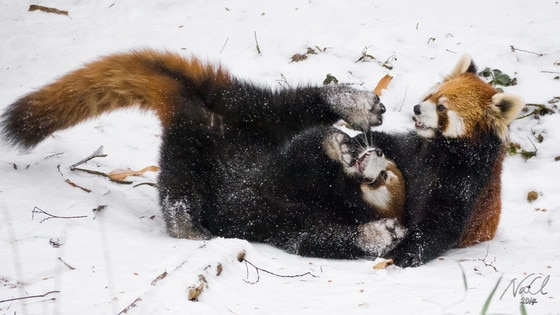 Red Pandas, Cincinnati Zoo