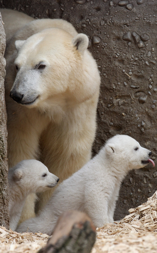 Polar Bear Cubs, Twins