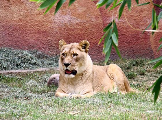 Hubert, Kalisa, LA Zoo, Lions