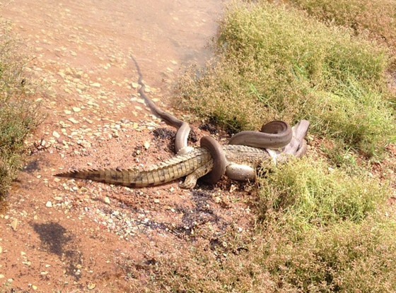 Python vs Crocodile, Snake