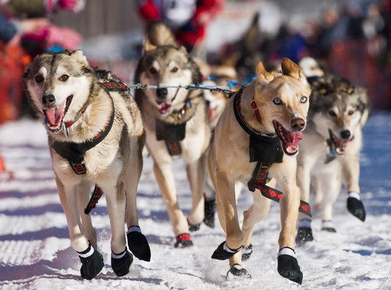 Iditarod Trail Sled Dog Race, Wolf Puppies