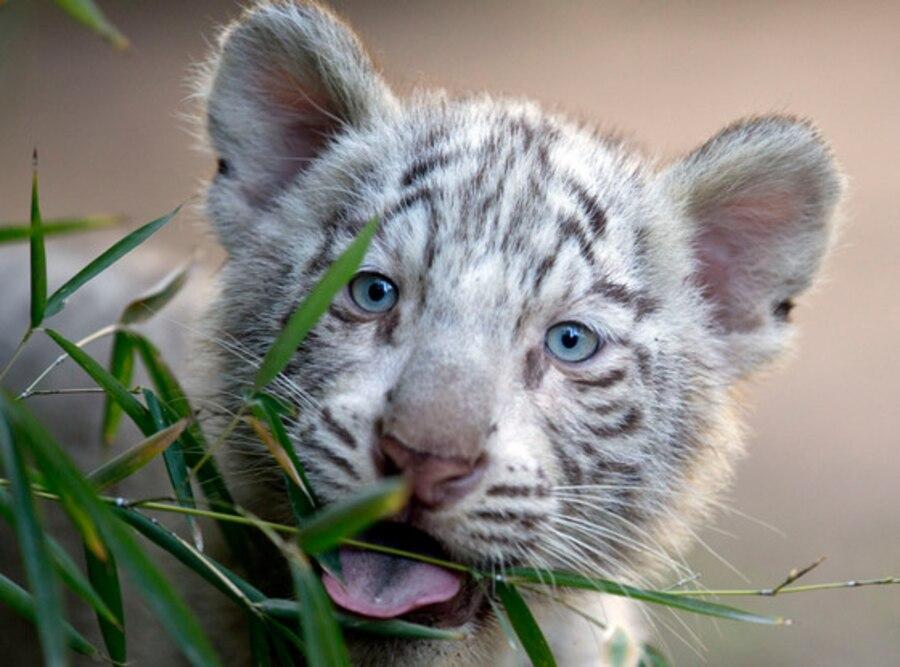 White Tiger Triplets