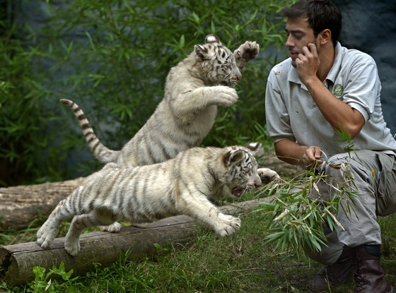 White Tiger Triplets