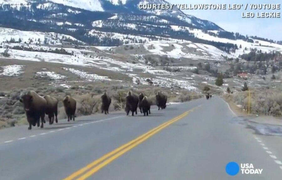 Bison Running Yellowstone, Volcano