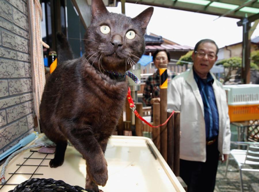 Suika Tsunami cat