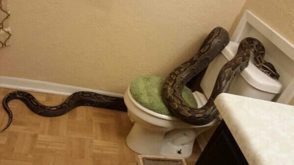 Snake on Toilet