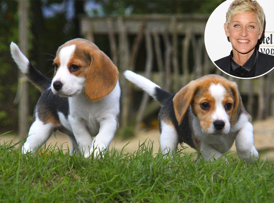Ellen DeGeneres, Beagle Puppies