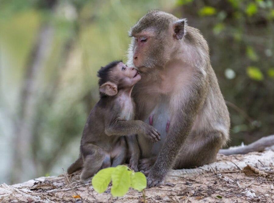 Macaque, Mother