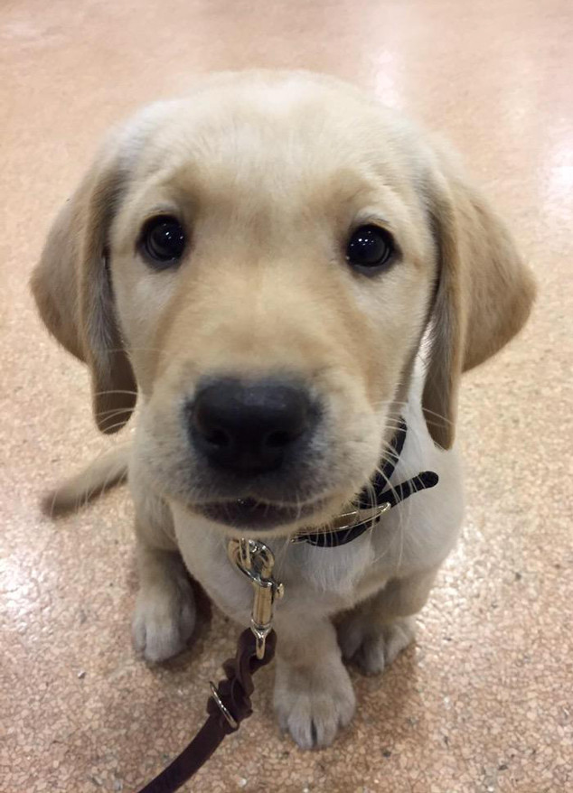 Today Gets A Puppy Meet The 10 Week Old Labrador