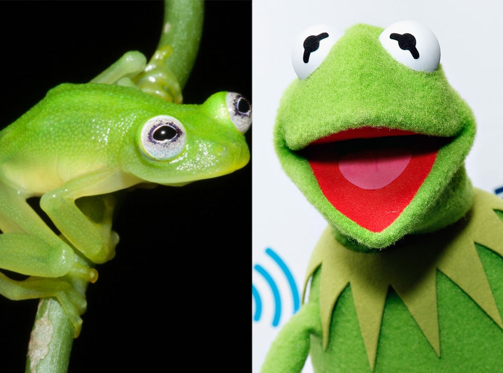 Scientist Discovers New Frog And It Looks Exactly Like Kermit E - Real life kermit the frog discovered in costa rica